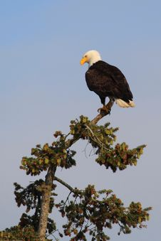 Free Eagle Stock Image - 20354601