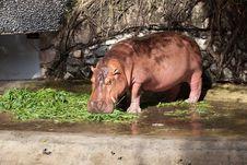 Free Hippopotamus Stock Image - 20355701