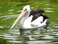 Free Pelican Stock Images - 20356714