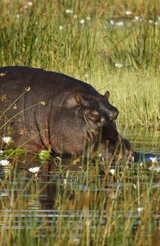 Free River Horse; Hippopotamus Okovango Inhabitant Royalty Free Stock Photos - 20358178
