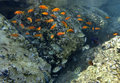 Free Fishes Of Coral Reef, Eilat, Israel Stock Image - 20360491