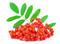 Free Ashberry Stock Images - 20364614