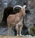 Free Brown Mountain Goat Royalty Free Stock Photography - 20367697