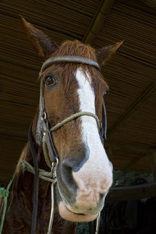 Free Horse Portrait Royalty Free Stock Images - 20360129