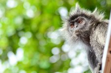 Free Silver Leaf Monkey Royalty Free Stock Photos - 20360648
