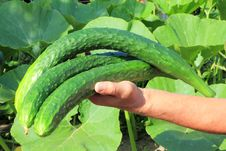 Free Big Cucumber In A Hand Of Farmer Stock Photos - 20360663