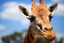 Free Giraffe Stock Photography - 20361892