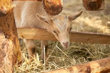 Free Baby Goat Royalty Free Stock Photo - 20362945
