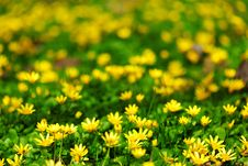 Free Yellow Spring Flowers Royalty Free Stock Image - 20365546