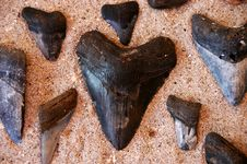 Fossil Shark S Teeth