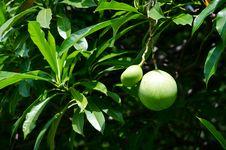 Green Fruit. Stock Photography