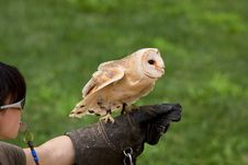Free Barn Owl Royalty Free Stock Image - 20366356