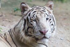Free White Tiger Stock Photo - 20367260