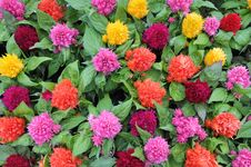Free Colorfull Flowers Royalty Free Stock Images - 20367379