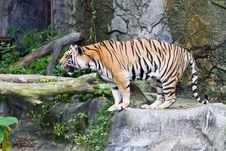 Free Tiger Stock Photography - 20367542