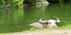 Free Albino Buffalo Royalty Free Stock Photo - 20367625