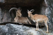 Free Brown Mountain Goat Stock Photography - 20367652