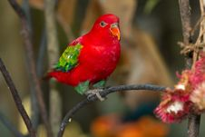 Free Red Parrot Royalty Free Stock Images - 20367819