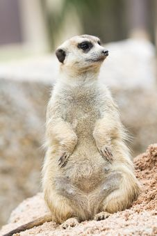Free Meerkat Royalty Free Stock Photo - 20367995