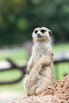 Free Meerkat Royalty Free Stock Photo - 20368145