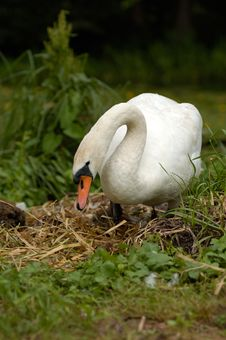 Free White Swan Royalty Free Stock Images - 20369749