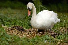 Free White Swan Stock Image - 20369771