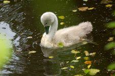 Free White Swan Royalty Free Stock Photo - 20369855