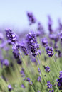Free Lavender Flowers Royalty Free Stock Photography - 20372067