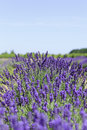 Free Lavender Flowers Royalty Free Stock Photos - 20372318