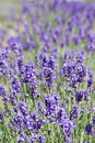 Free Lavender Flowers Stock Image - 20372351