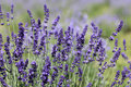 Free Lavender Flowers Stock Photography - 20372372