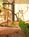 Free Rainbow Lorikeet Stock Image - 20374001