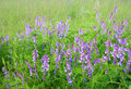 Free Wild Pea Flowers Royalty Free Stock Photos - 20375068