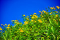 Free Mexican Sunflower Weed Ant View Royalty Free Stock Photos - 20377548