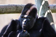 Free Gorilla Royalty Free Stock Photography - 20370087