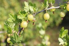 Free Gooseberries On Branch Royalty Free Stock Photography - 20370177