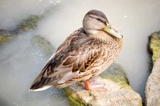 Free Mallard Duck Royalty Free Stock Photography - 20370347