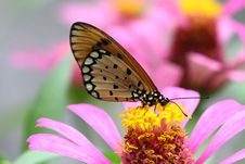 Free Tawny Coster Butterfly Royalty Free Stock Image - 20371986