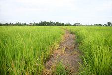 Free Farm Rice Stock Photos - 20373603