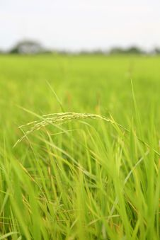 Free Paddy Rice Field Stock Photos - 20373673