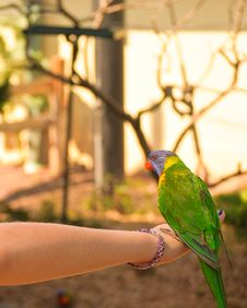 Free Rainbow Lorikeet Stock Image - 20374001