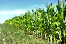 Free Corn Field Stock Photo - 20374840