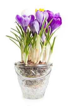 Free Crocuses Royalty Free Stock Photos - 20374948