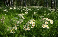 Free Daisies In A Birch Grove Royalty Free Stock Photos - 20374978