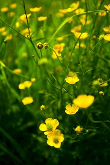Free Yellow Flowers Royalty Free Stock Image - 20375326
