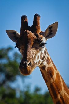 Free Giraffe Portrait Royalty Free Stock Images - 20375329