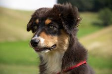 Free Australian Shepherd Dog Portrait Royalty Free Stock Images - 20376029