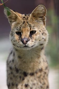 Detail Of Serval Stock Photos
