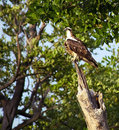 Free Osprey On Trunk In The Forest Royalty Free Stock Photo - 20381115