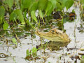 Free Young Spectacled Caiman Showing His Head Royalty Free Stock Photography - 20381207